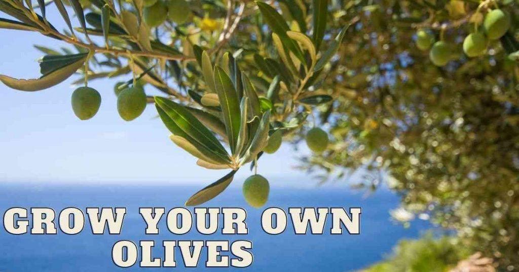 how do olives grow