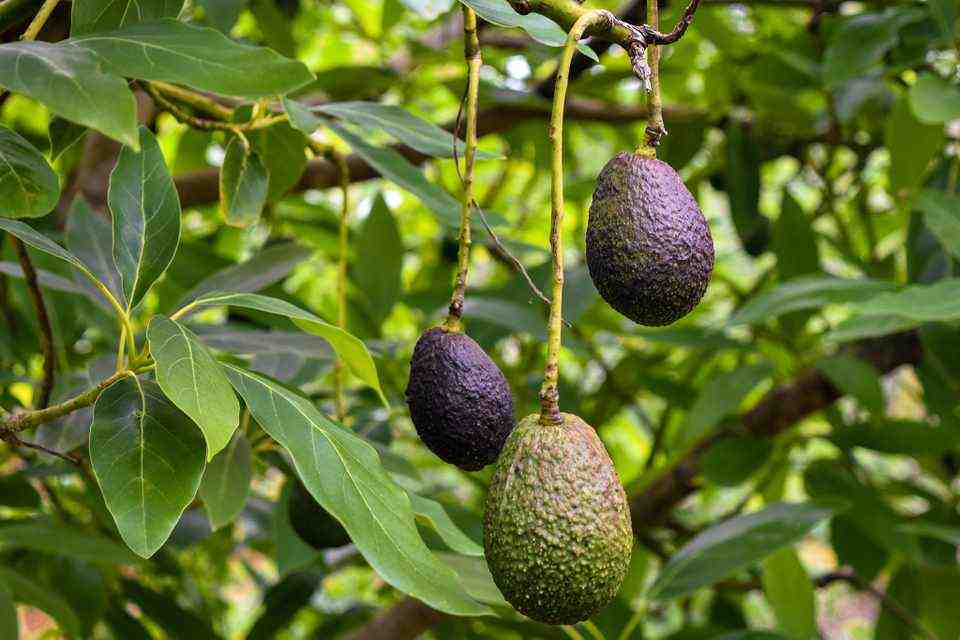 how to grow avocado indoors