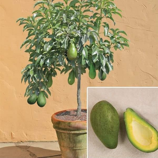 how much space does an avocado tree need