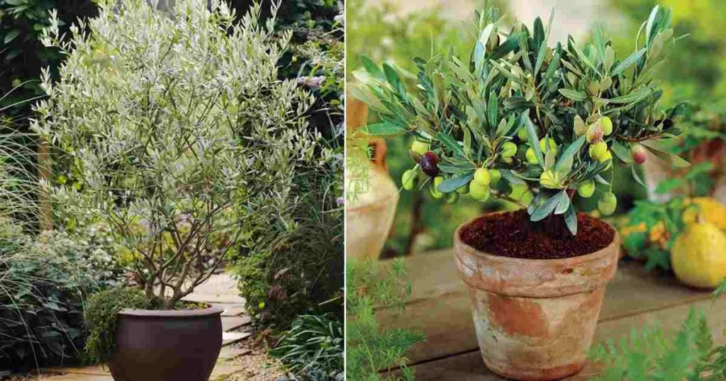 about olive trees