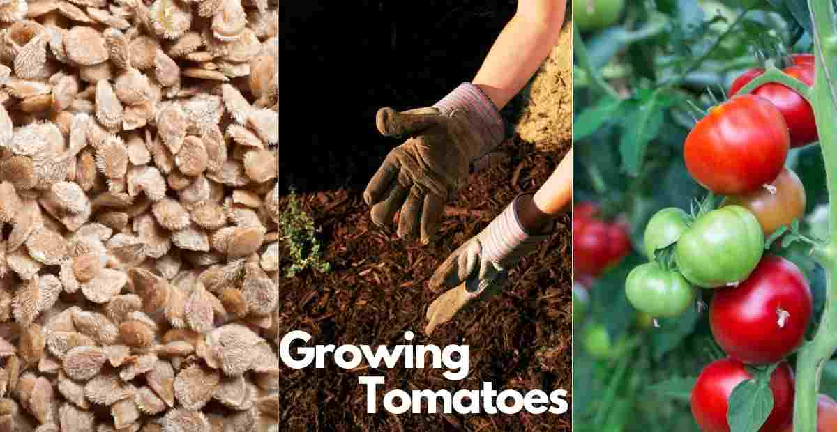 when to plant tomatoes