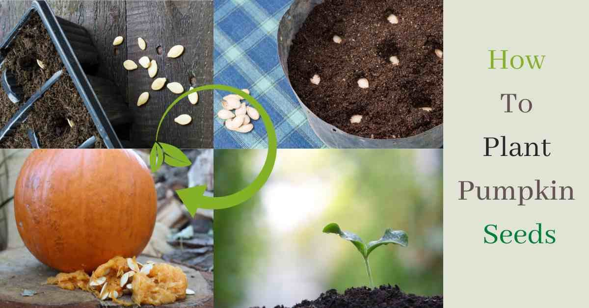 how to plant pumpkin seeds