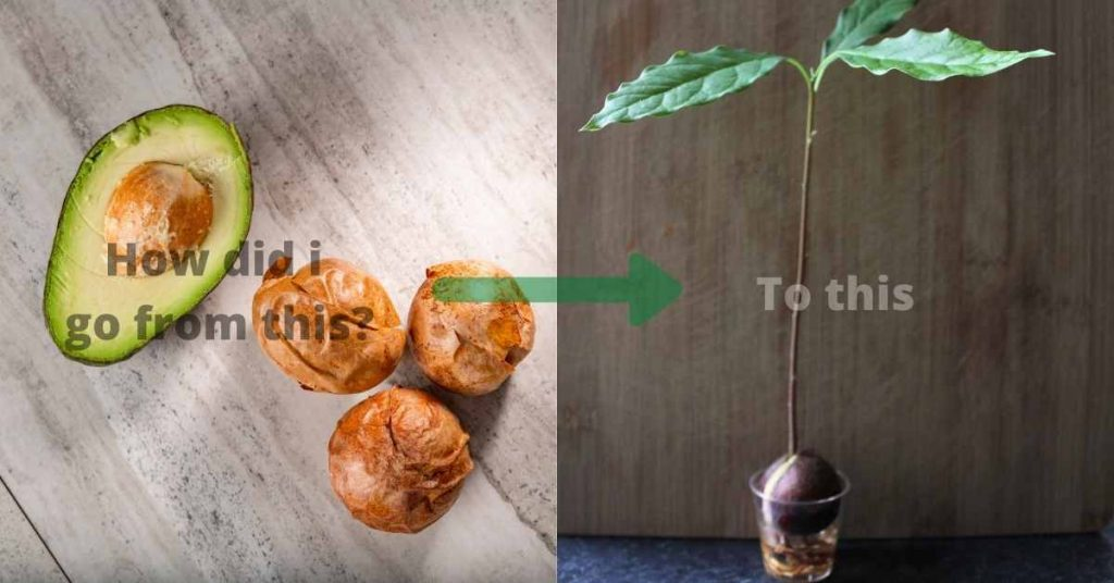 how to grow avocado from a seed