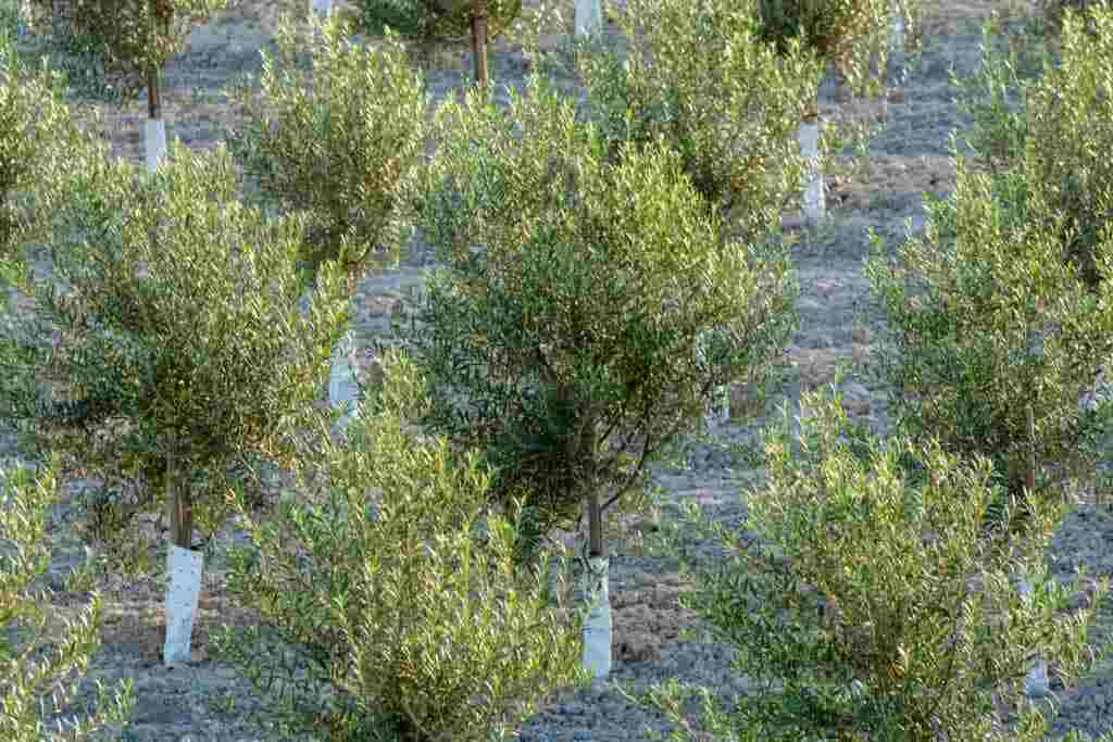 the olive zones