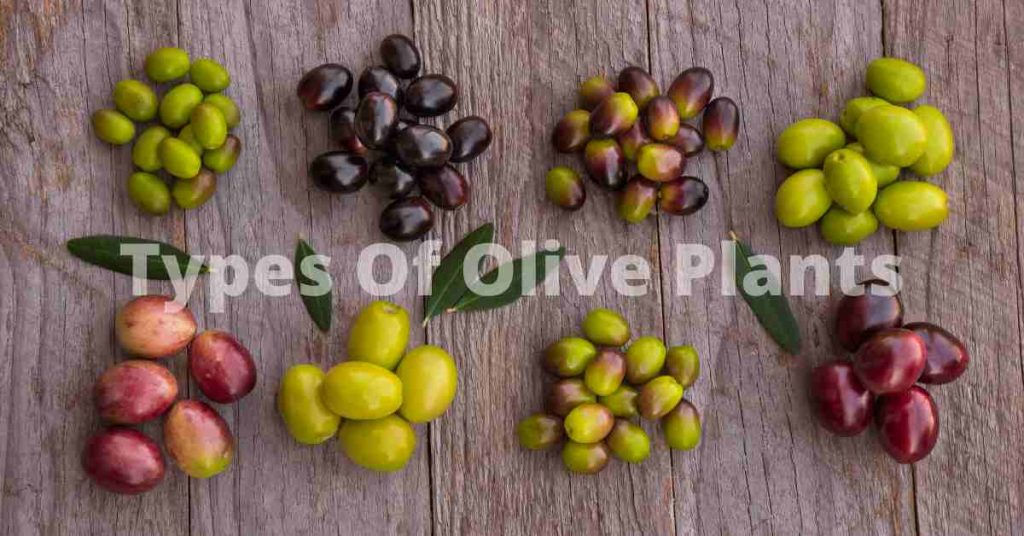 types of olive plants