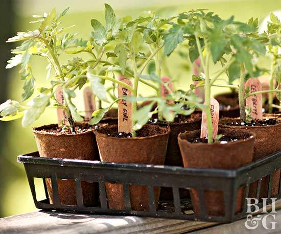 when to start growing tomatoes