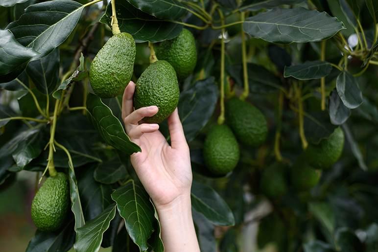 potted avocado tree care