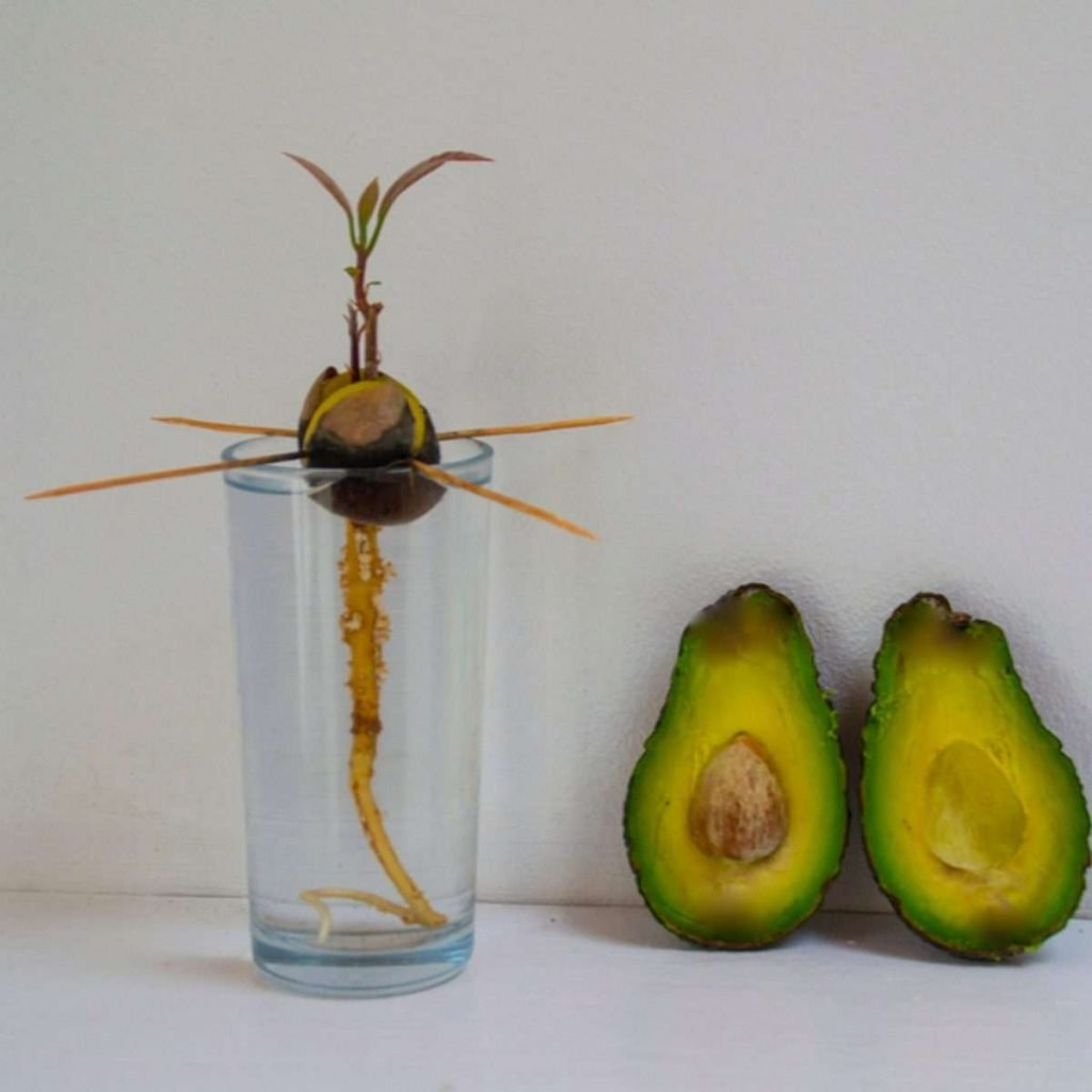 how to grow an avocado seed in water