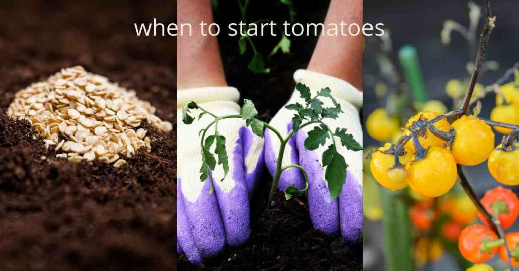 when to start tomatoes