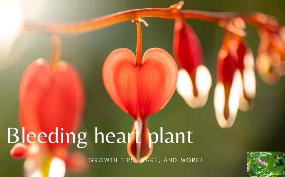 Bleeding heart plant
