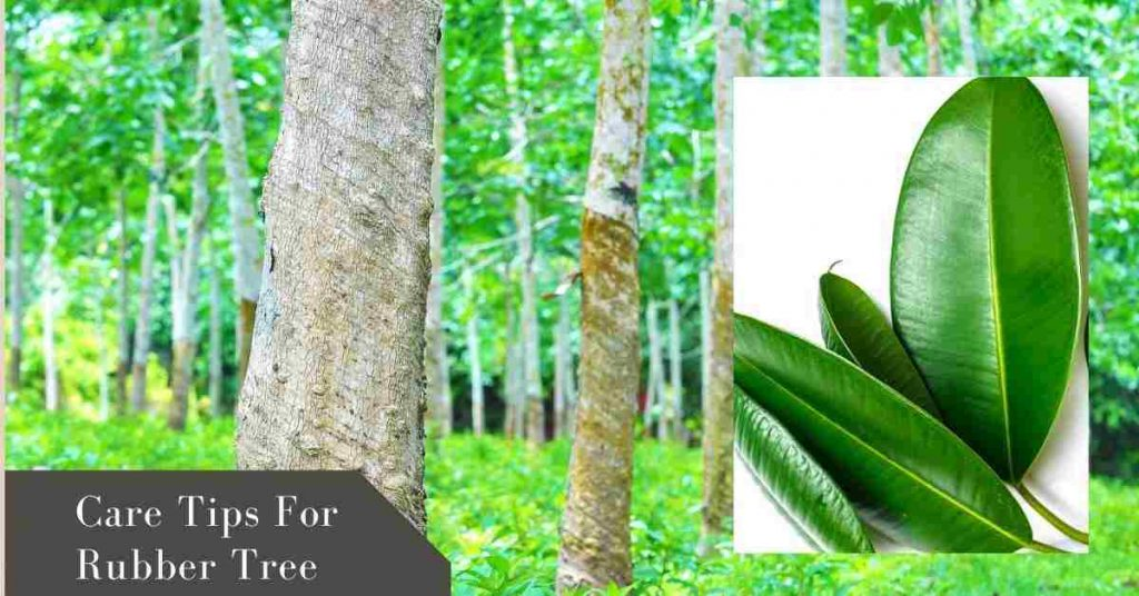 rubber tree plant care