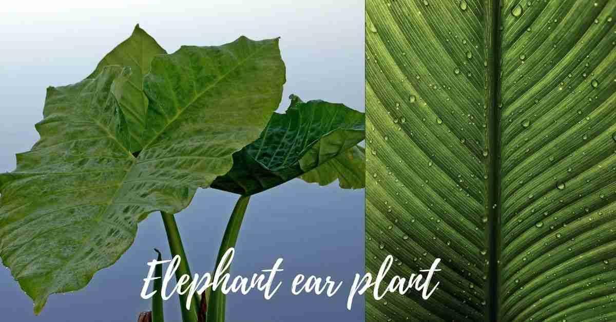 elephant ear plant care
