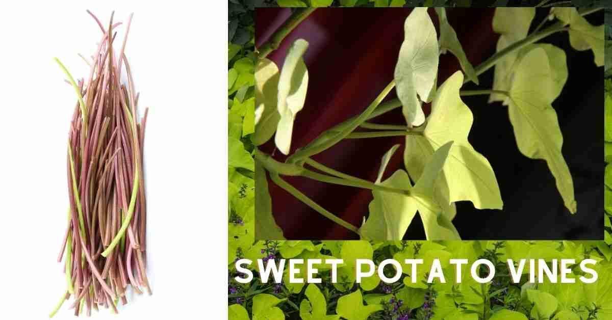 sweet potato vines