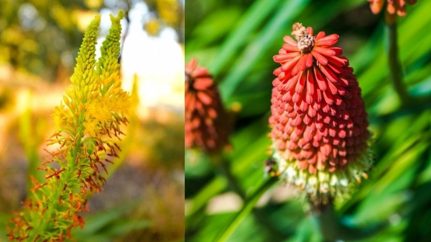 Red hot poker plant care