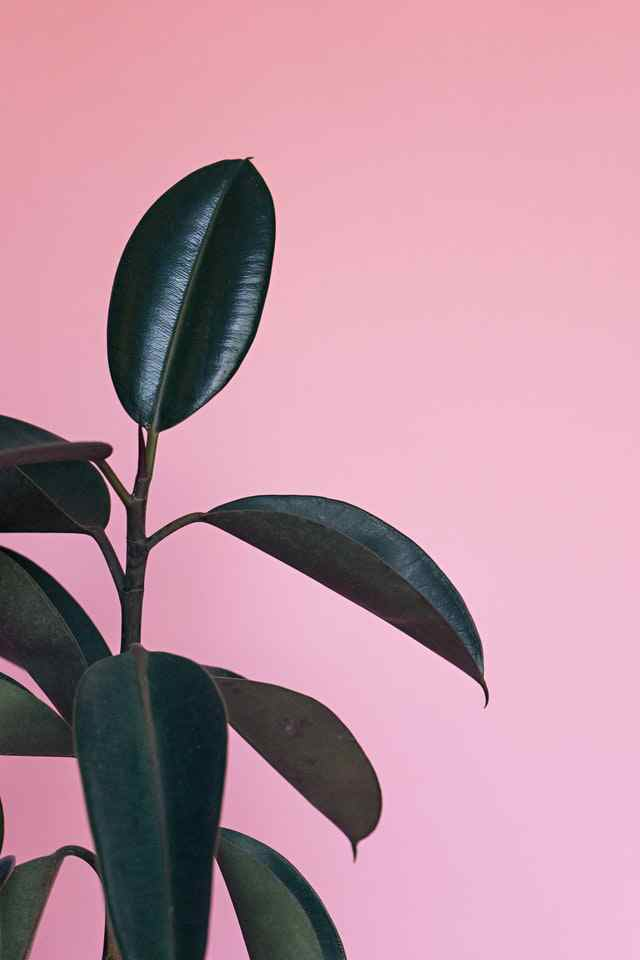 How to make a rubber plant bushy