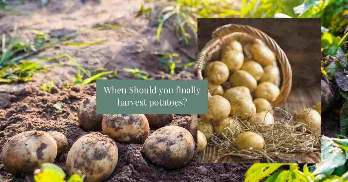 When are potatoes ready to harvest?