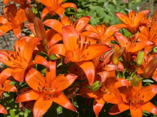 orange tiger lily bulbs for sale