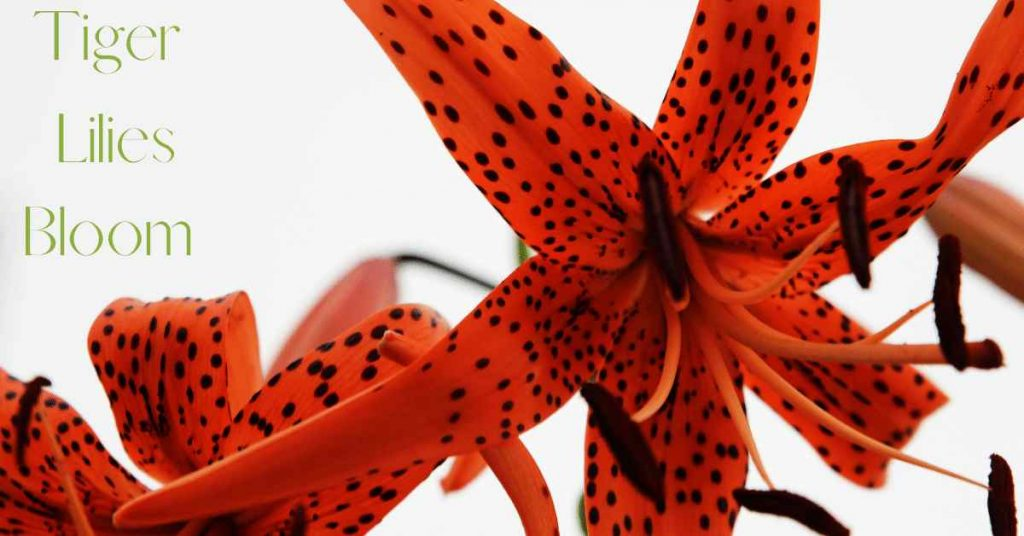 when do tiger lilies bloom