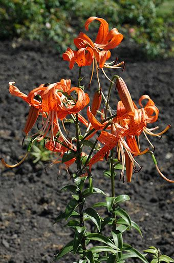 when to plant tiger lily bulbs